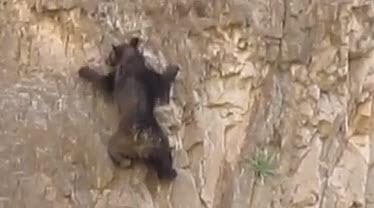 video de osos habiles escalando