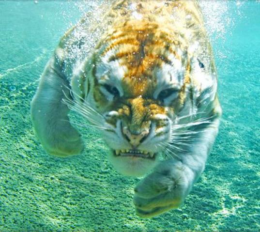 Descargar fondo de pantalla para el whastapp tiger