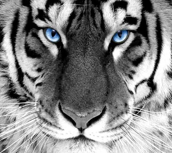 Imagenes de fondo para whatsapp white tiger