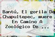 Bantú, El <b>gorila De Chapultepec</b>, <b>muere</b> En Camino A Zoológico De ...