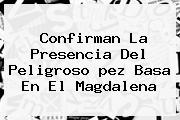 Confirman La Presencia Del Peligroso <b>pez Basa</b> En El Magdalena