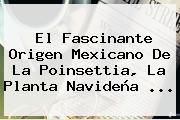 El Fascinante Origen Mexicano De La Poinsettia, La Planta Navideña ...