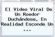 El Video Viral De Un Roedor Duchándose, En Realidad Esconde Un ...