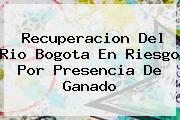 Recuperacion Del Rio <b>Bogota</b> En Riesgo Por Presencia De Ganado